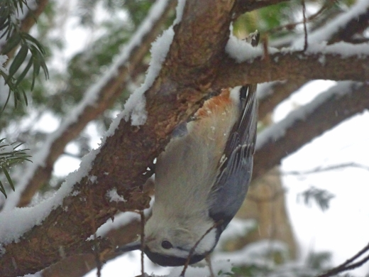 White-breasted nuthatch in a familiar pose