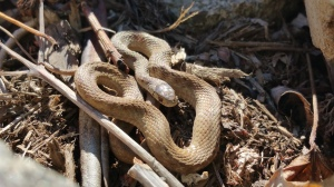 Northern brownsnake warms itself in the sunshine