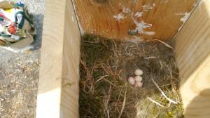May 8: Four Carolina Chickadee eggs