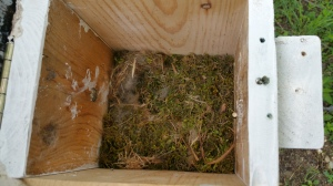 June 6: Carolina Chickadee nest within hours of four fledglings leaving nest