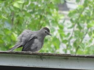 Gray Catbird in courtship dance