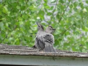 Gray Catbird pair