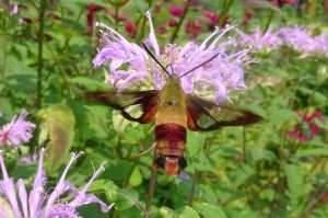 Hummingbird Clearwing Moth dorsal view