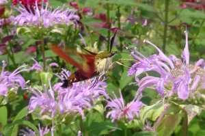 Hummingbird Clearwing Moth nectaring on bee balm