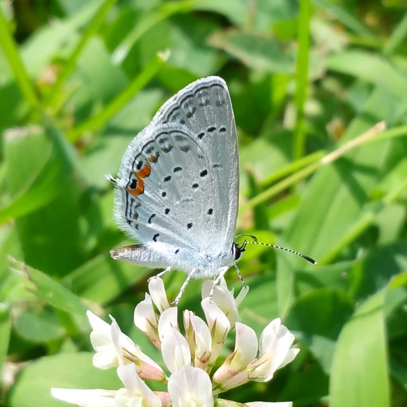 Eastern tailed-blue on clover