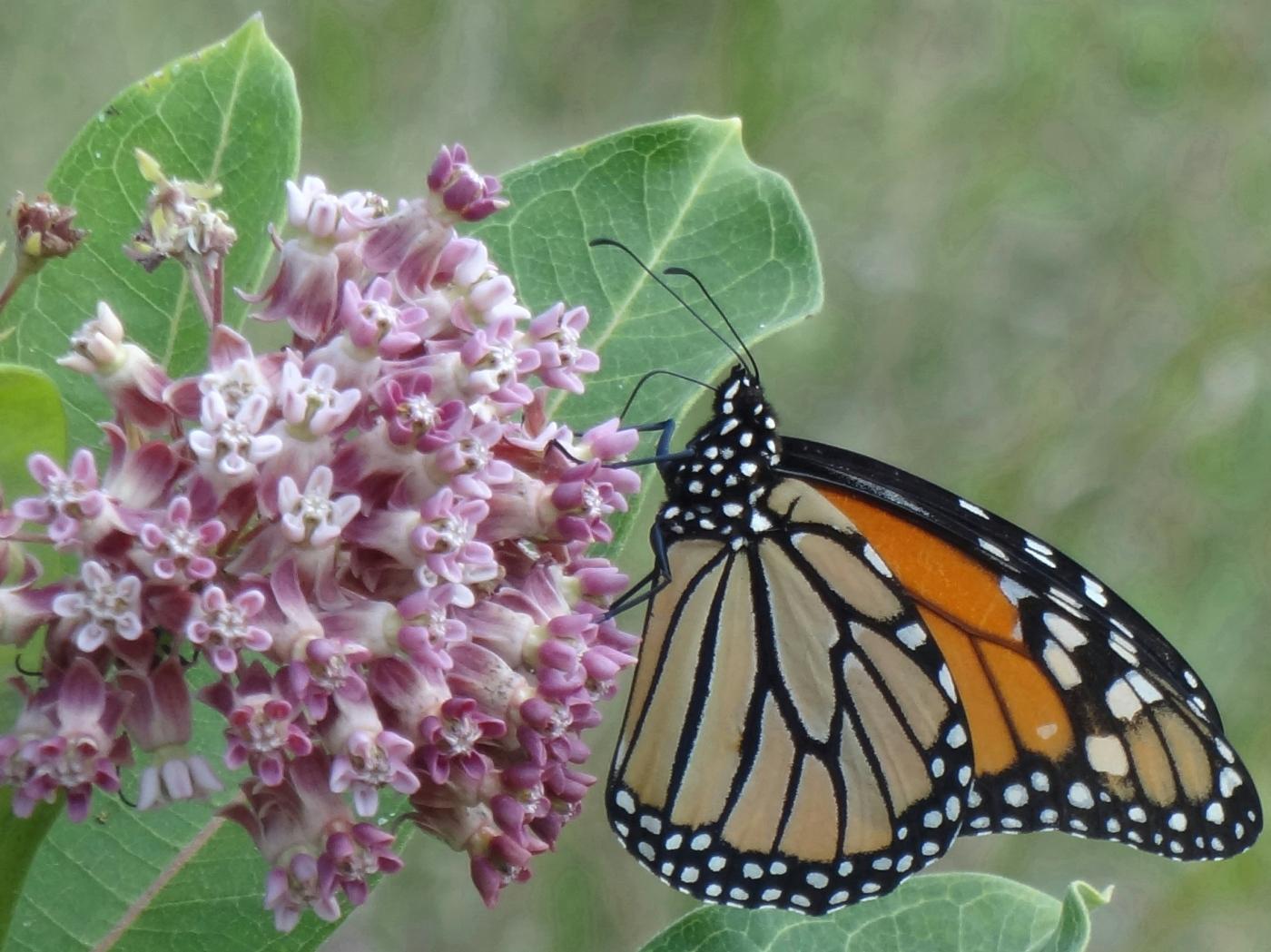 monarch closer