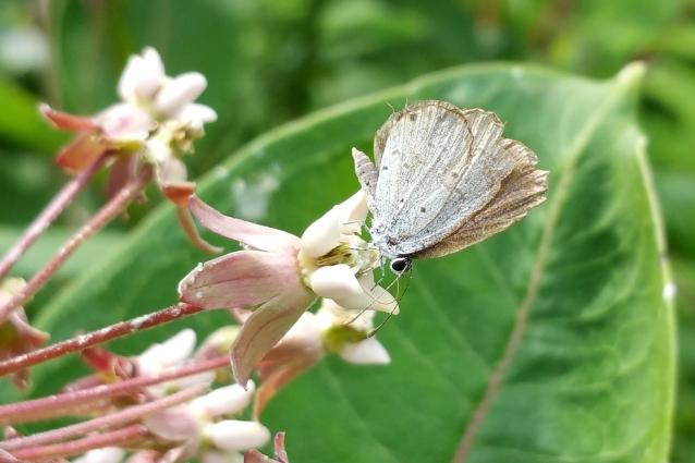 Summer Azure on milkweed