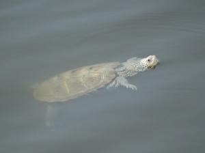 Diamondback Terrapin swimming in the coastal bay