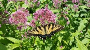 Eastern Tiger Swallowtail on Joe Pye Weed