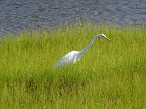 Great Egret foraging in the grasses