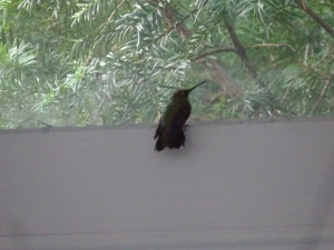 Hummingbird on wrong side of the window