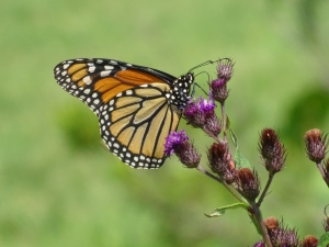 Monarch on Ironweed
