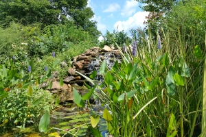 Pickerel-weed and other water-loving plants in the garden