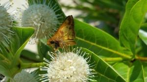 Zabulon Skipper butterfly on Buttonbush