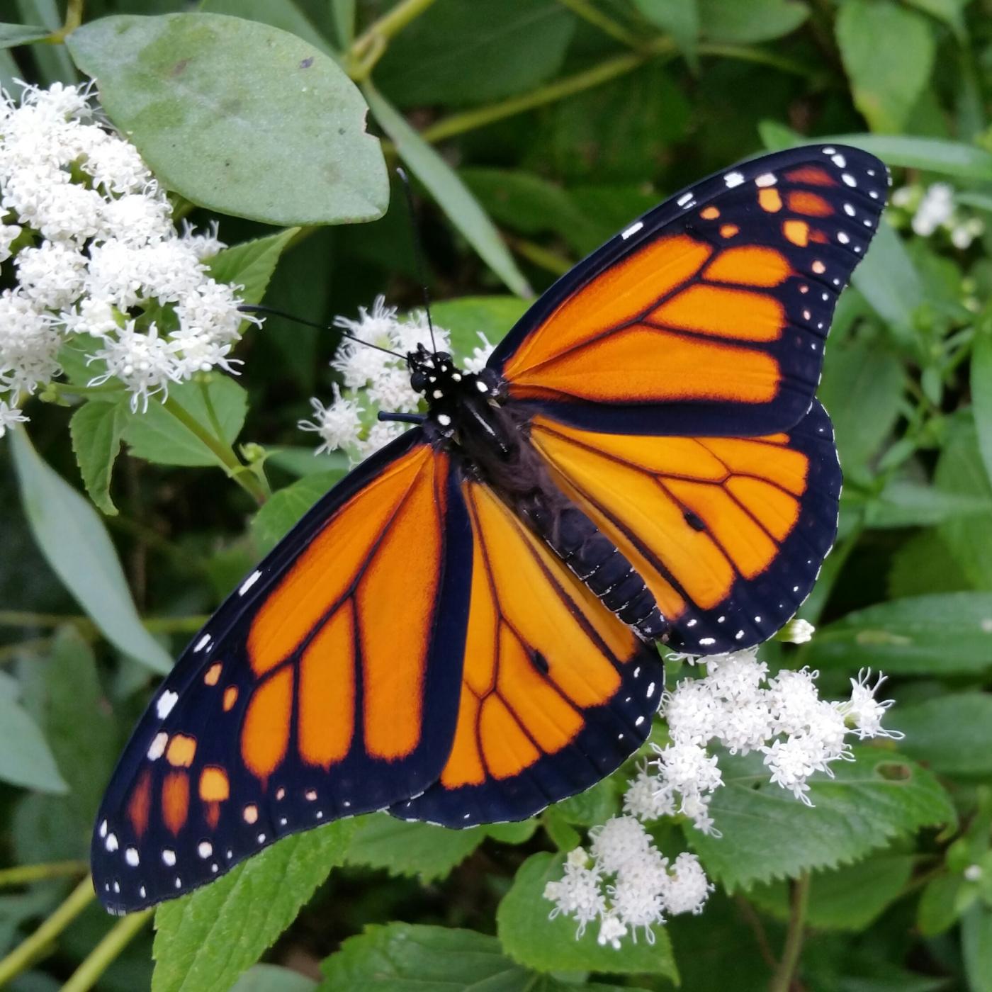 A freshly emerged male Monarch butterfly.