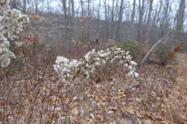 goldenrod in seed