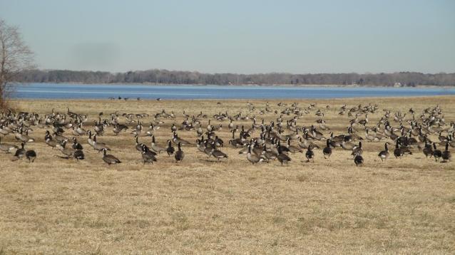 geese Feb 2011