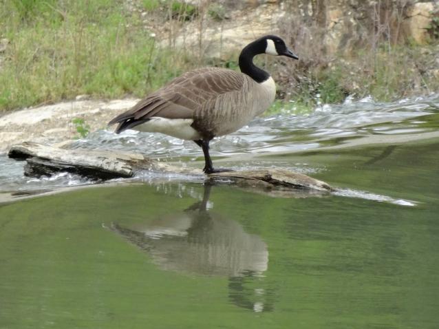 Goose dam edge resident