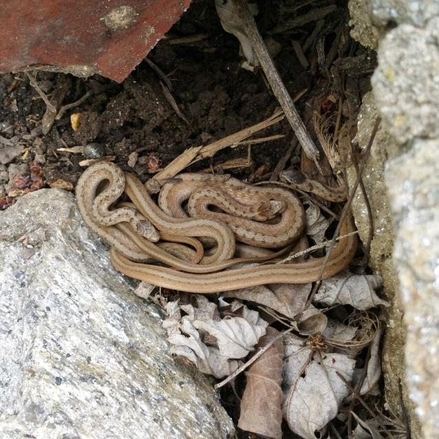 little brown snakes rocks