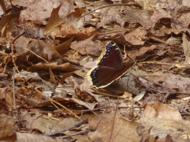 Mourning cloak 032316 OR