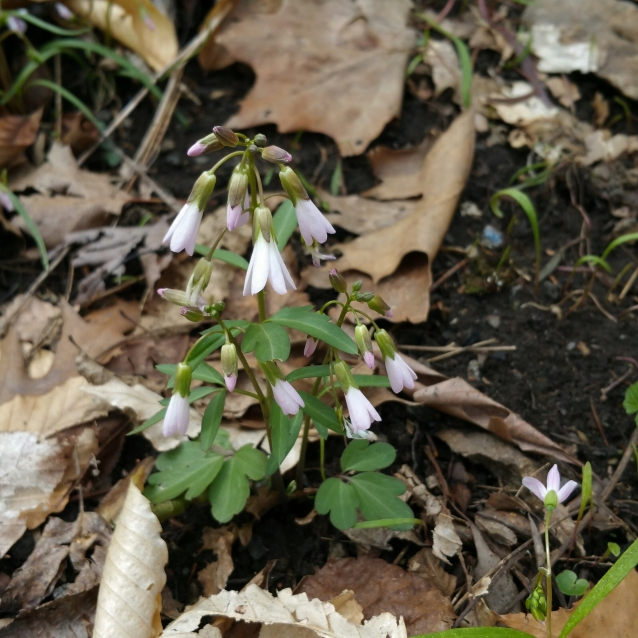cut leaved toothwort LR