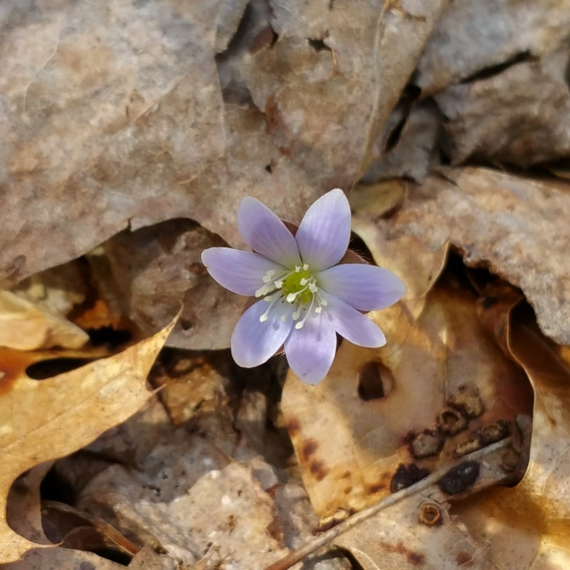 HZ hepatica lavender crop