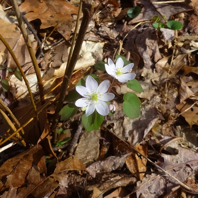HZ rue anemone crop