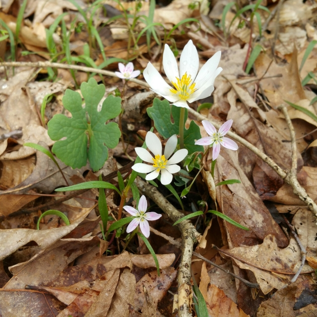 spring beauty and bloodroot crop LR