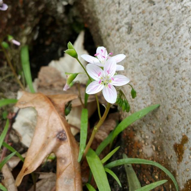 Spring beauty LR crop