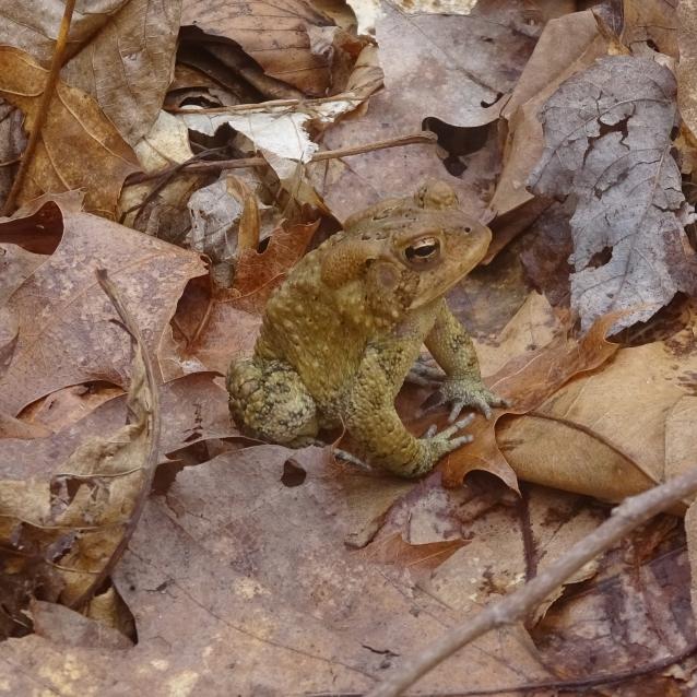 Toad LR