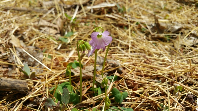 wood sorrel 1 OR