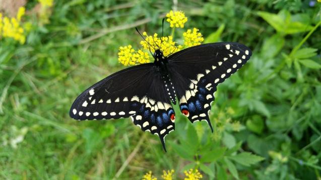 Black swallowtail M 051916