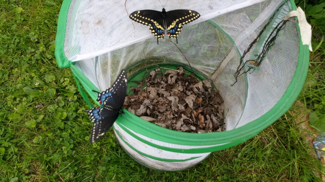 Black swallowtails eclosed today