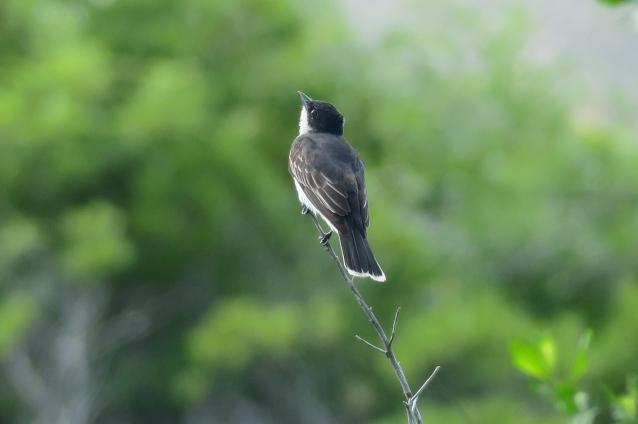 Eastern Kingbird AI