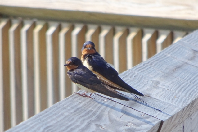 Barn swallow pair AI