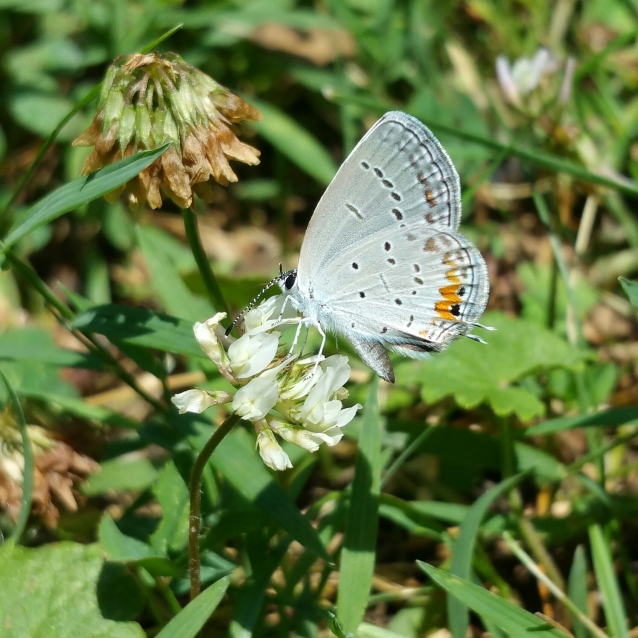 Eastern tailed blue crop
