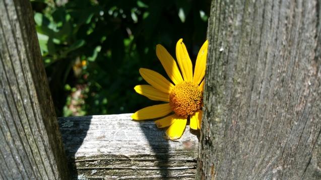 false sunflower native plant