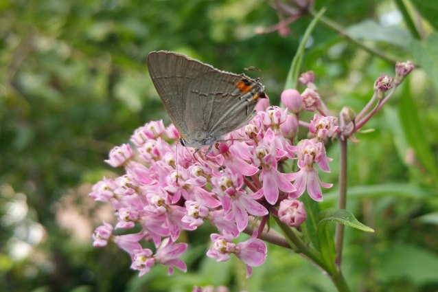 Gray hairstreak milkweed crop