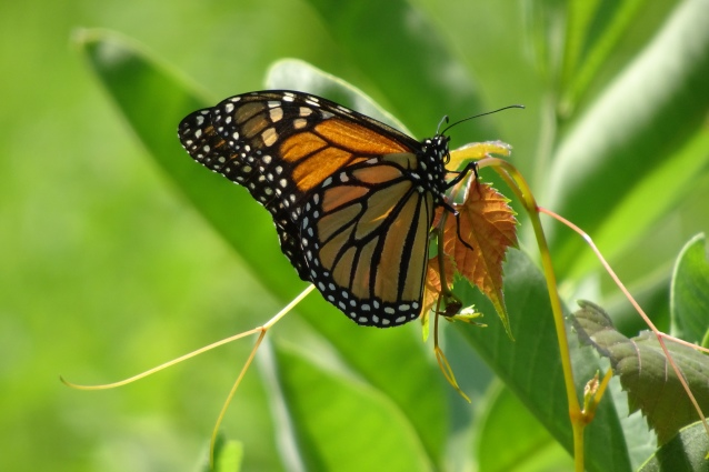 Monarch M CV