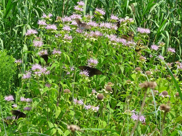swallowtail 9 BFs bergamot
