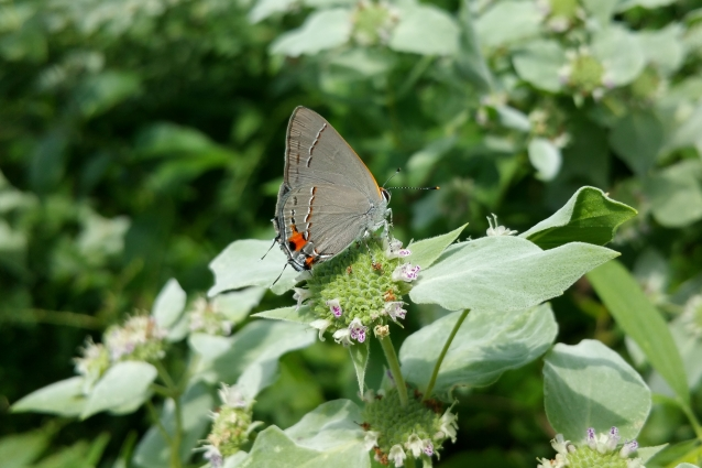 Gray Hairstreak MM crop
