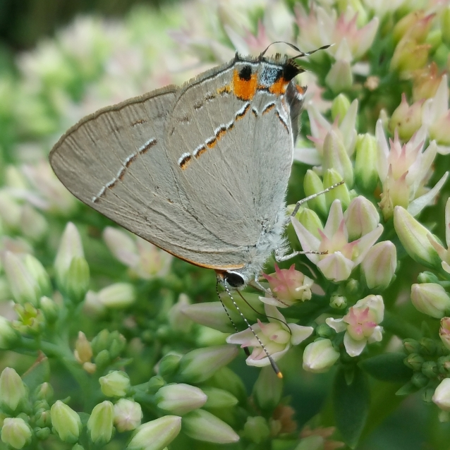 Gray Hairstreak nectar sedum crop