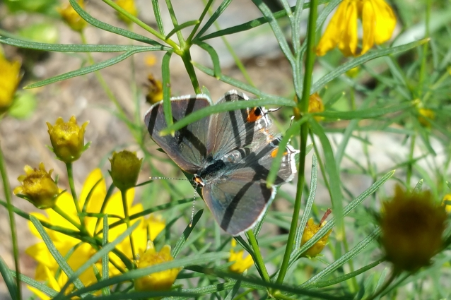 gray hairstreak ventral crop