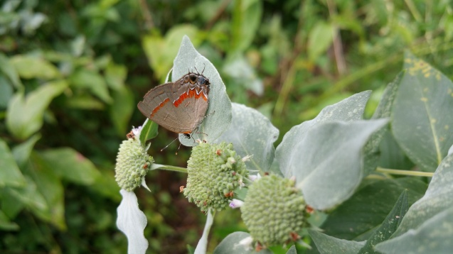 Red banded hairstreak blue spot