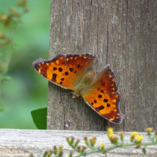 eastern-comma-dorsal-rsz