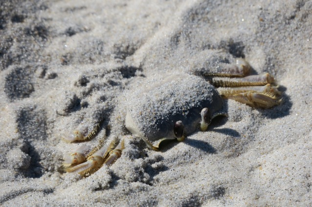 ghost-crab3