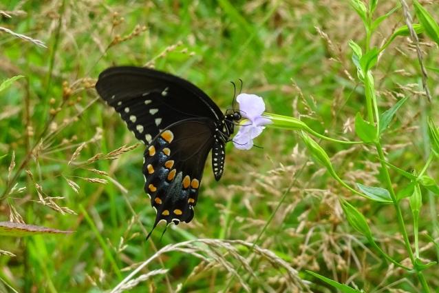 spicebush-swallowtail-bf-or