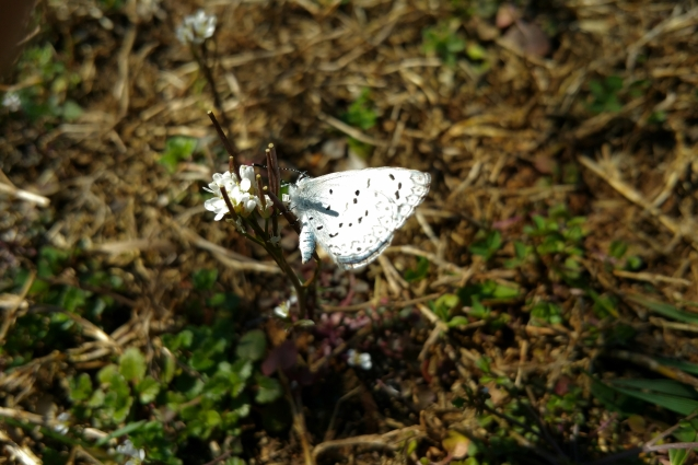 Spring Azure BF CV crop1