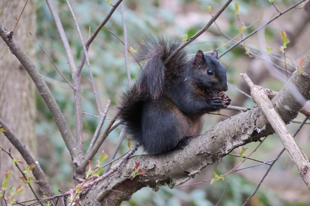 Black squirrel3