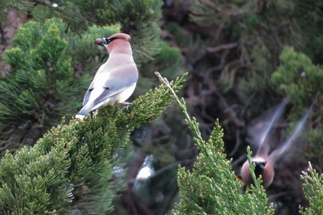 Cedar waxwing berry wax